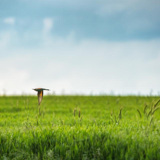 """""""European bee-eater (Merops apiaster) in natural habitat"""" stock image"""