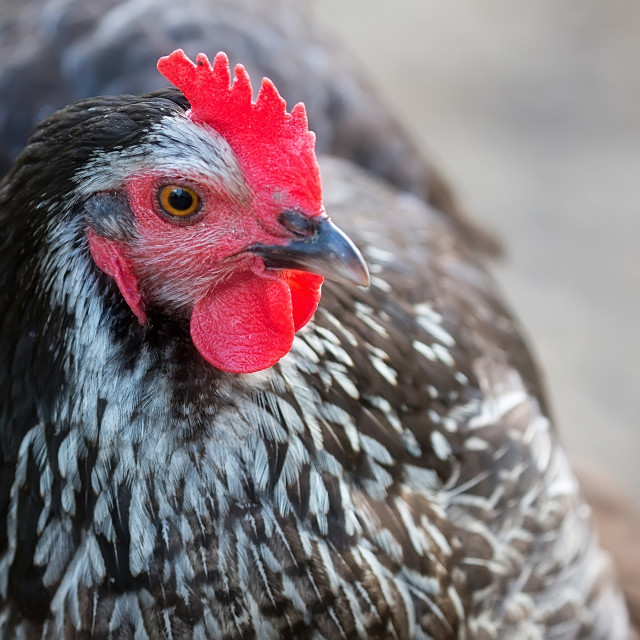 """Hen on the farm"" stock image"