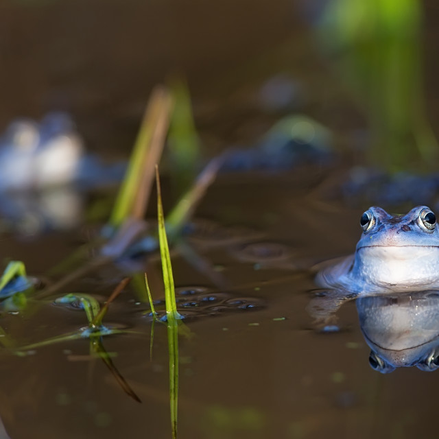 """Moor frog on the lake"" stock image"