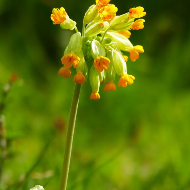 """Cowslip"" stock image"