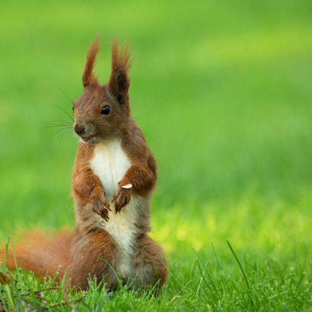 """""""Squirrel (Sciurus vulgaris) stands upright"""" stock image"""