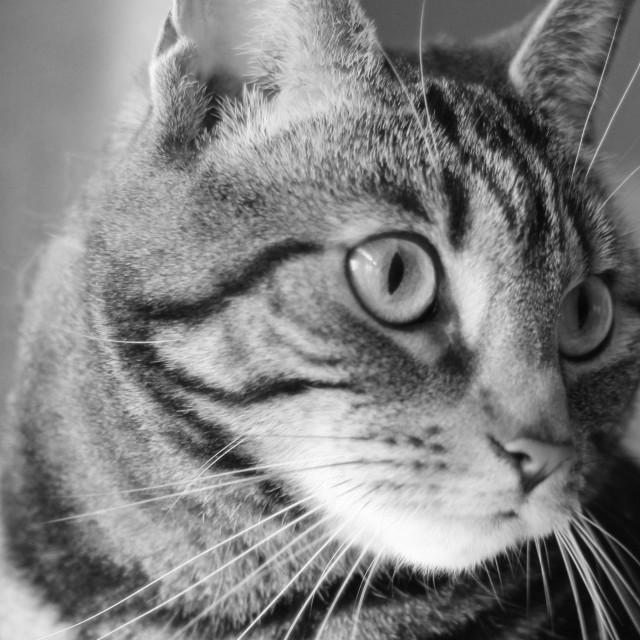 """""""Tabby Cat in Black and White"""" stock image"""