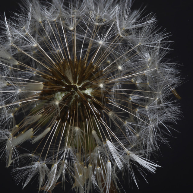 """Dandelion Clock"" stock image"