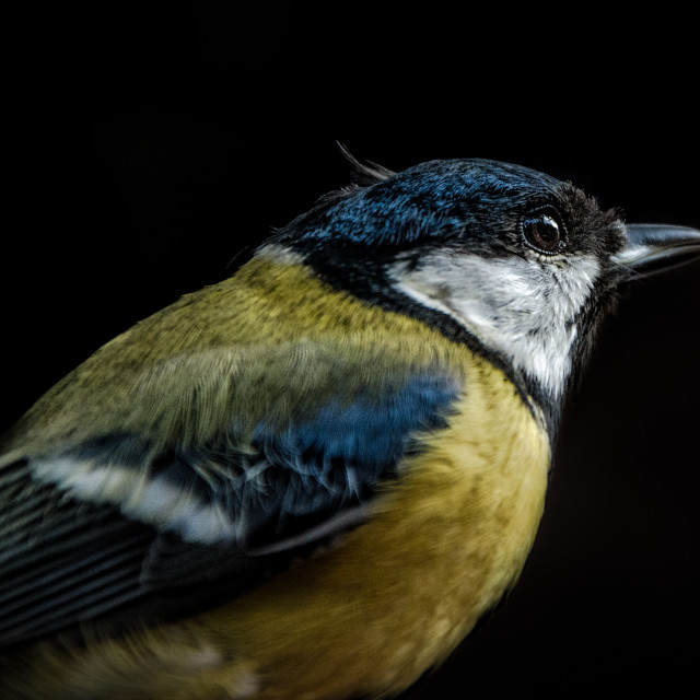"""Blue tit on a hand in Zaragoza Spain"" stock image"