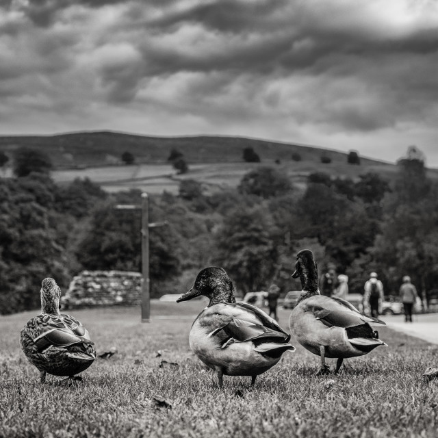 """Ducks in Bolton Abbey Yorkshire"" stock image"