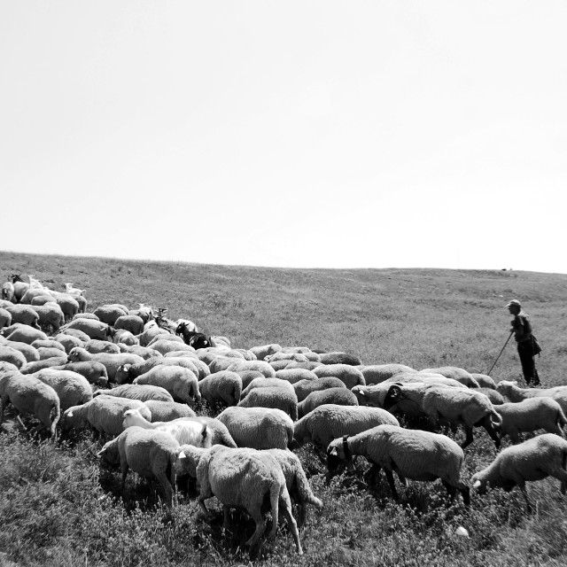 """Romanian Shepherd and his flock"" stock image"
