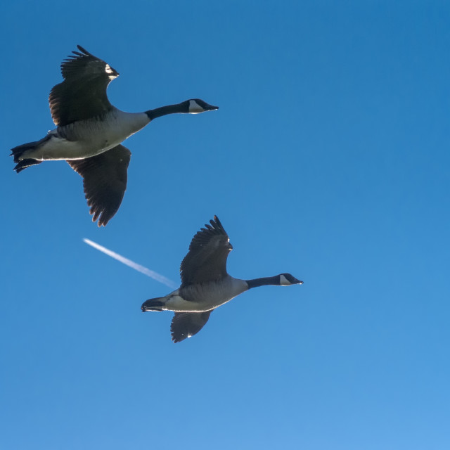 """Two Canada Geese in Flight"" stock image"