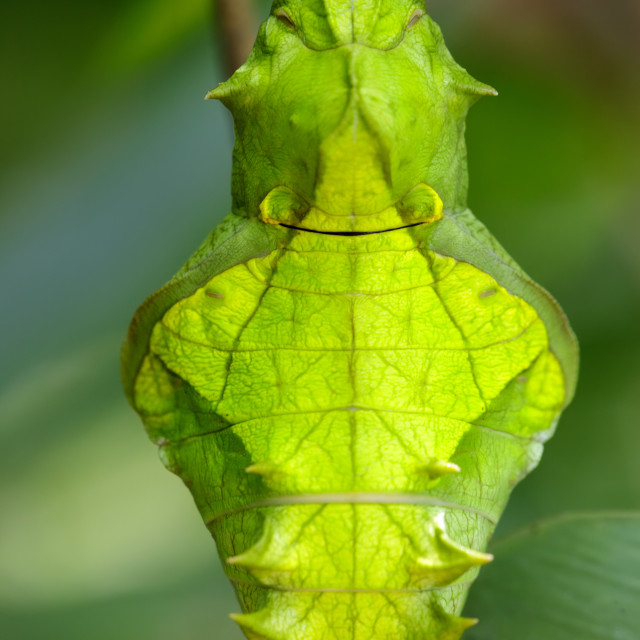 """butterfly pupa face"" stock image"