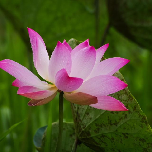 """""""Summer lotus"""" stock image"""