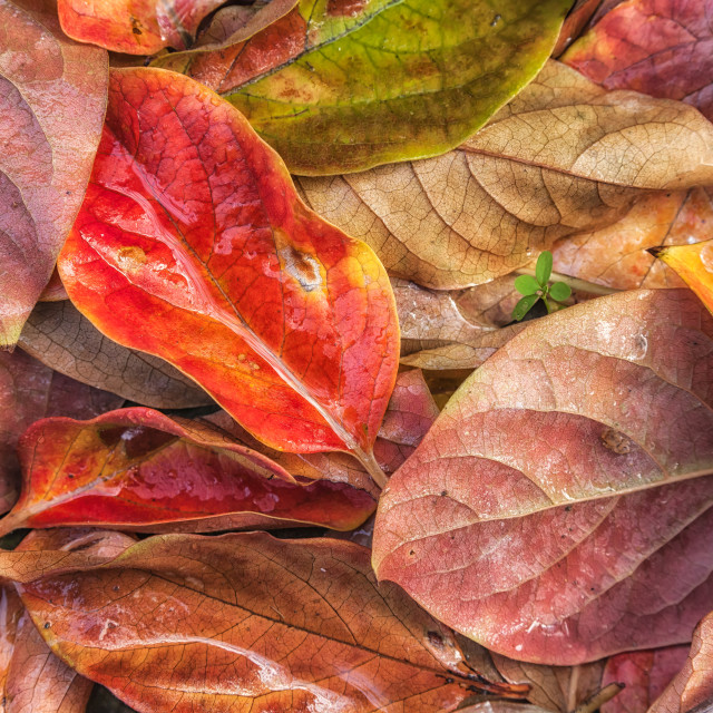 """""""Persimmon Leaves"""" stock image"""