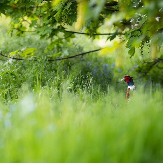 """Attentive Pheasant"" stock image"