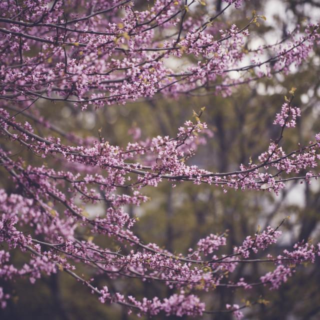 """spring buds"" stock image"
