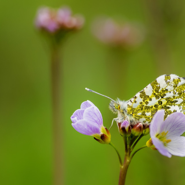 """Female Orange Tip"" stock image"