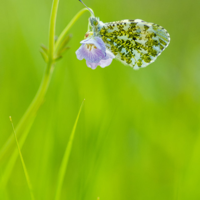 """Orange-tip Butterfly"" stock image"
