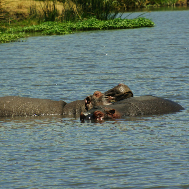 """Relaxing Hippos"" stock image"