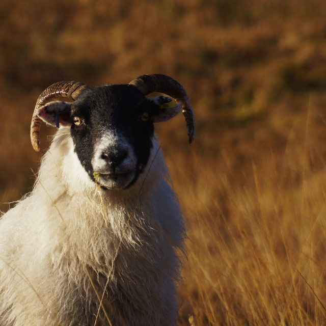 """Alerted Sheep"" stock image"