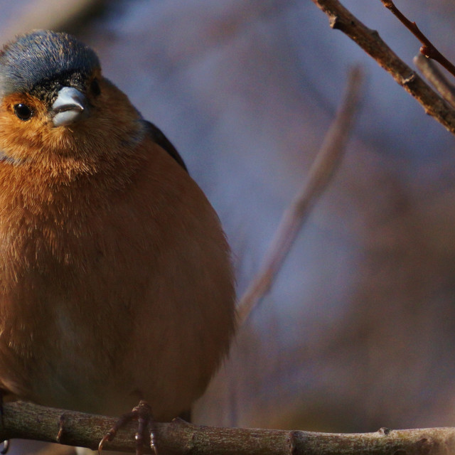 """Spherical Chaffinch"" stock image"