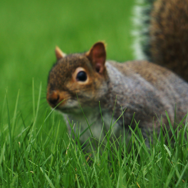 """Squirrel in Grass"" stock image"