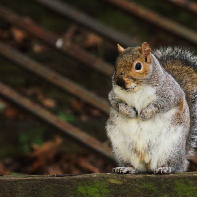"""Sitting Squirrel"" stock image"