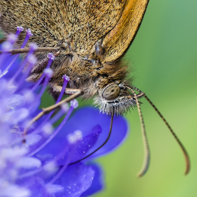 """Meadow Brown Feeding"" stock image"