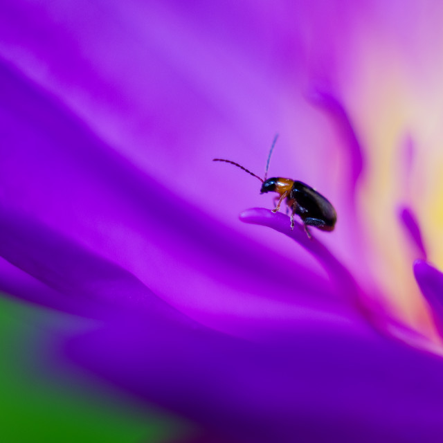 """""""Lady bug on a nice waterlily"""" stock image"""
