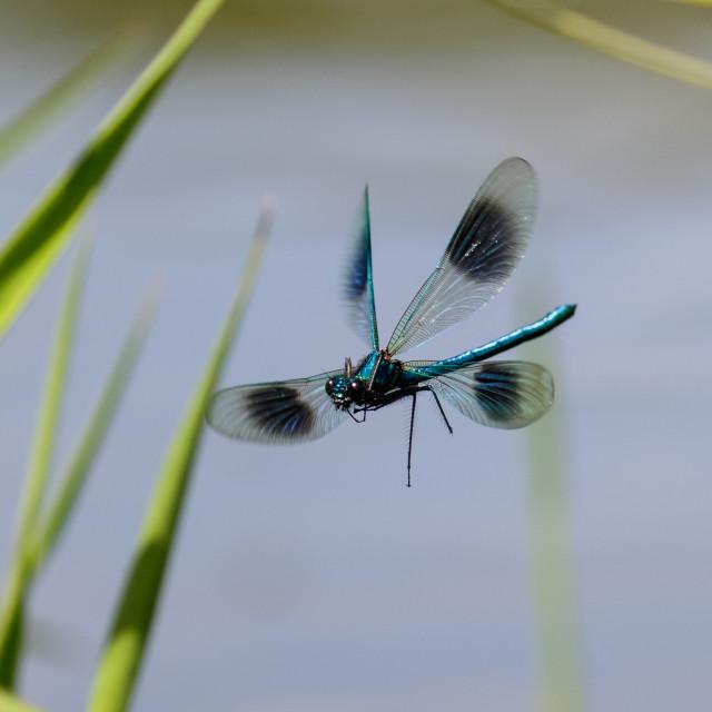 """""""Male Banded Demoiselle (Calopteryx splendens)"""" stock image"""
