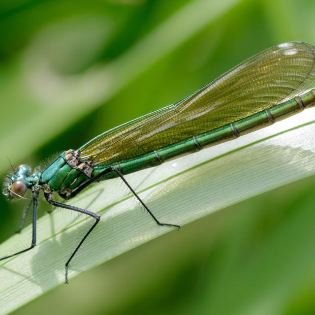"""""""Female Banded Demoiselle (Calopteryx splendens)"""" stock image"""