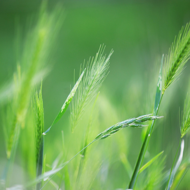 """Young green ears of rye close up"" stock image"
