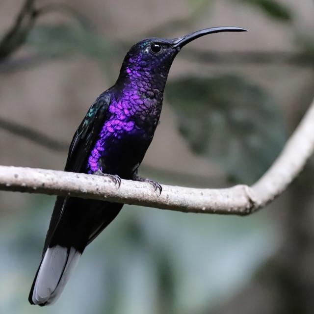 """Violet Sabrewing Hummingbird"" stock image"
