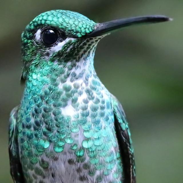 """Green Crowned Brilliant Hummingbird"" stock image"