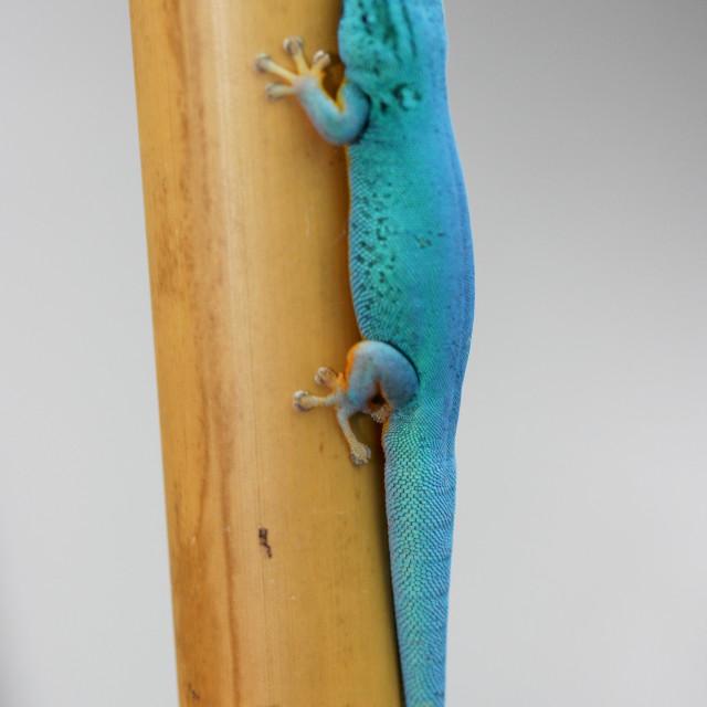 """Gecko (Lygodactylus willamsi)"" stock image"