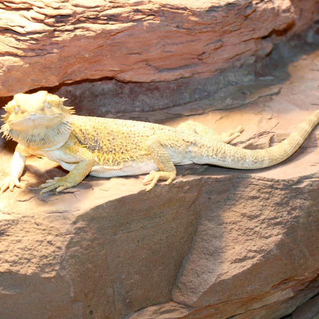 """Bartagame dragons (Pogona vitticeps)"" stock image"