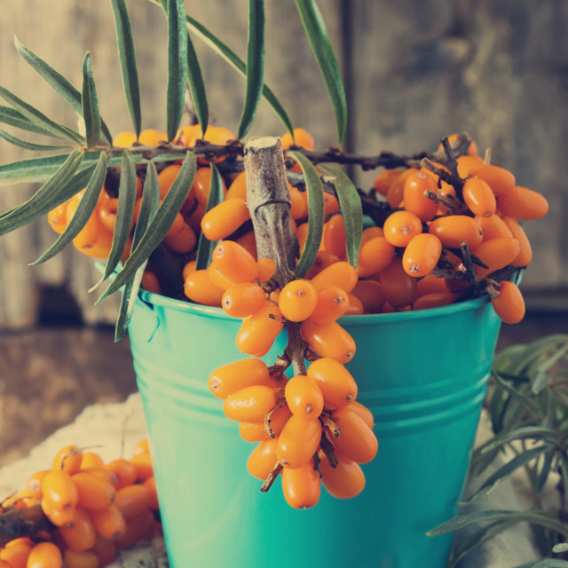 """Ripe sea buckthorn"" stock image"