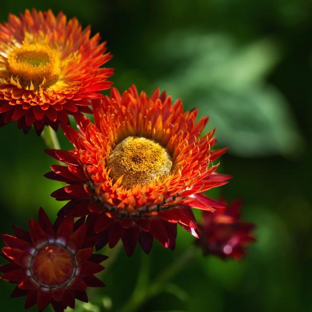 """Beautiful Flowers Helichrysum"" stock image"