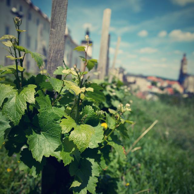 """""""vineyard in Kutna Hora"""" stock image"""