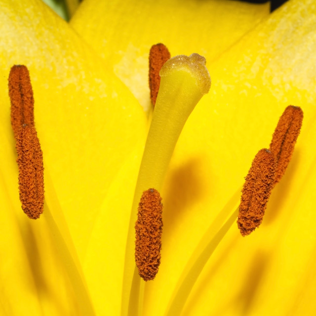 """""""Inside the lily"""" stock image"""