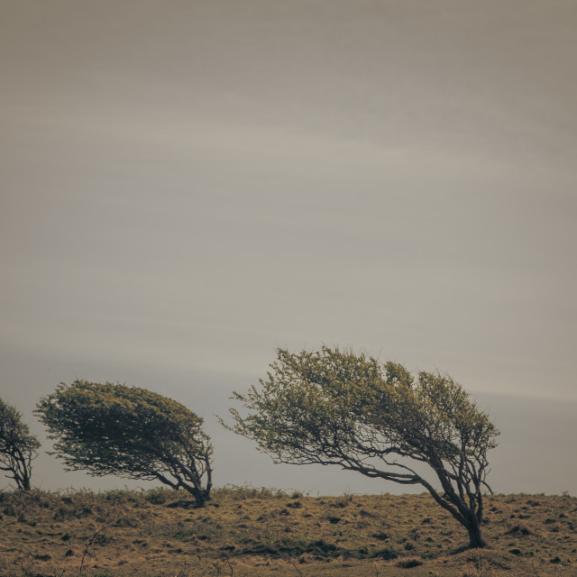 """Wind Swept Trees"" stock image"