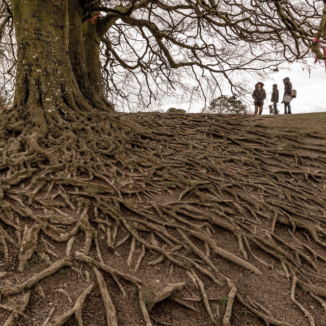 """Beech Tree Roots"" stock image"