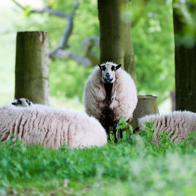 """Who's looking at Ewe"" stock image"