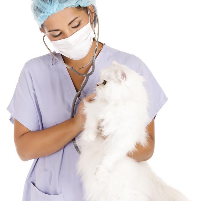 """""""veterinary and angora cat"""" stock image"""