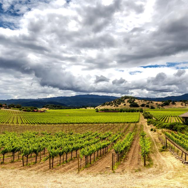"""""""Vines in Napa"""" stock image"""