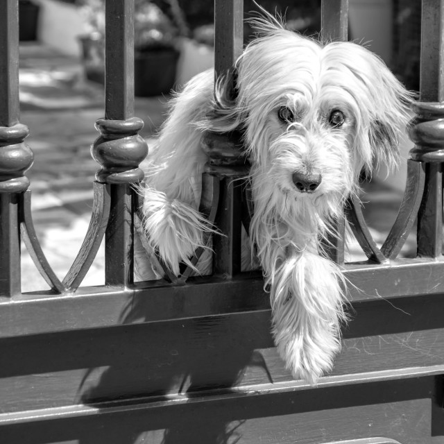 """White Dog Behind Bars"" stock image"