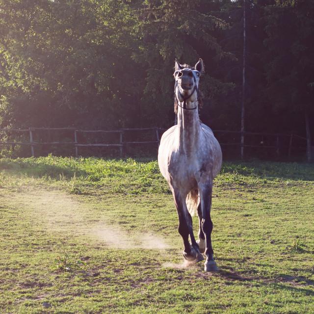 """Running white horse"" stock image"