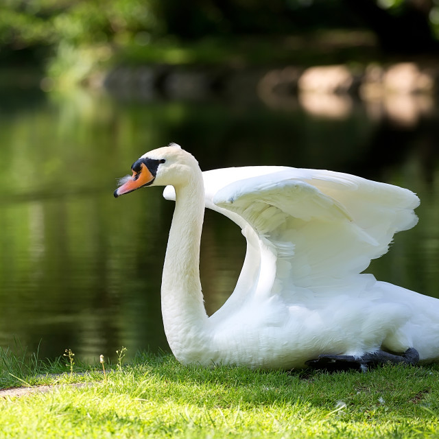 """Swan in the wild"" stock image"