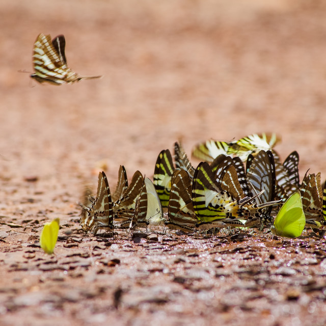 """Group of butterflies in forest"" stock image"