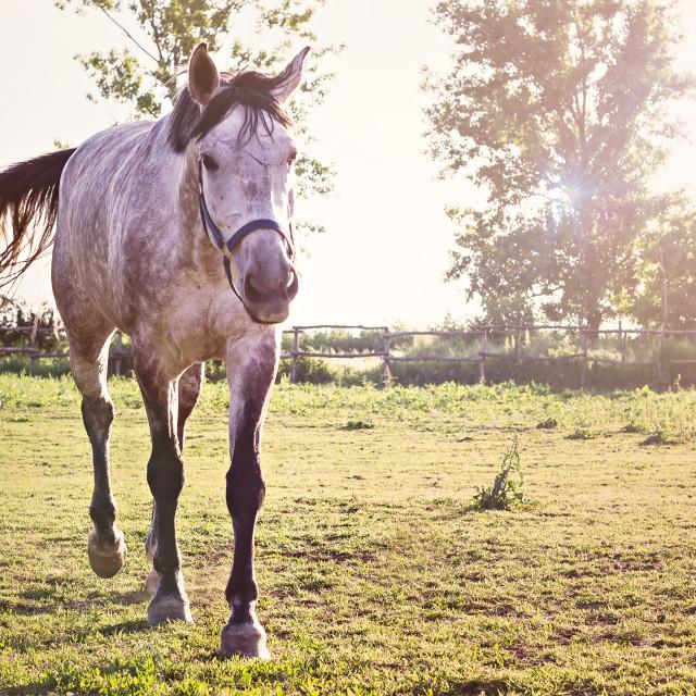 """""""Beautiful white horse"""" stock image"""