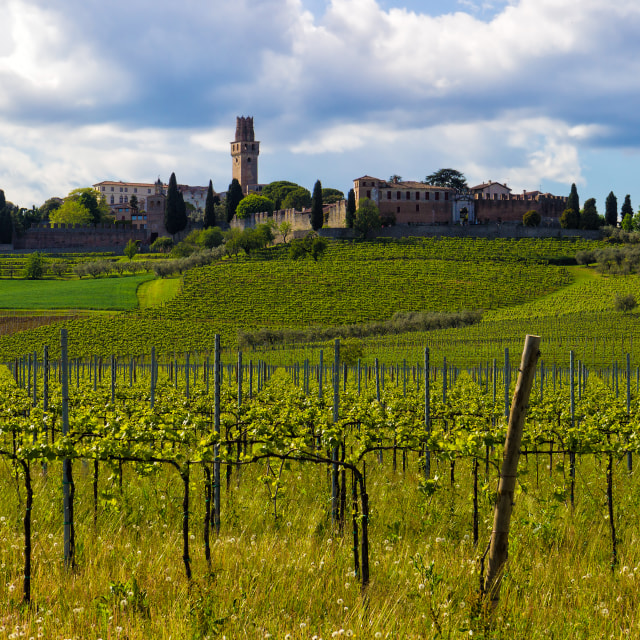 """Hilly landscape with vines and an old castle in Italy"" stock image"