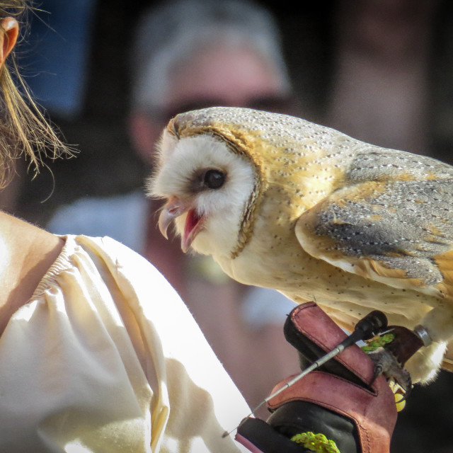 """Barn Owl in Trasmoz, Aragon Spain, Falconry"" stock image"