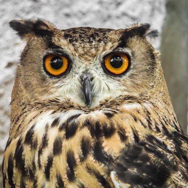"""Eurasian eagle-owl in Trasmoz, Aragon Spain, falconry"" stock image"
