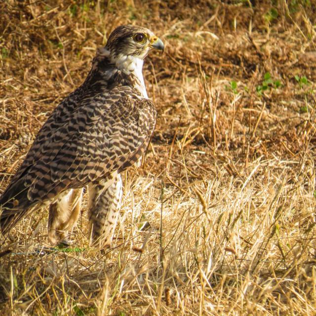 """""""Falcon in Trasmoz, Aragon Spain"""" stock image"""